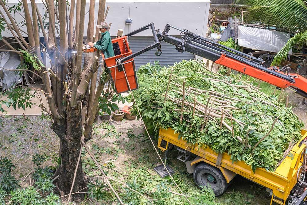 Tree Service Las Vegas - Tree Pruning